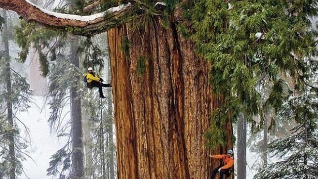 ¿Cuánto mide el árbol más grande del mundo?