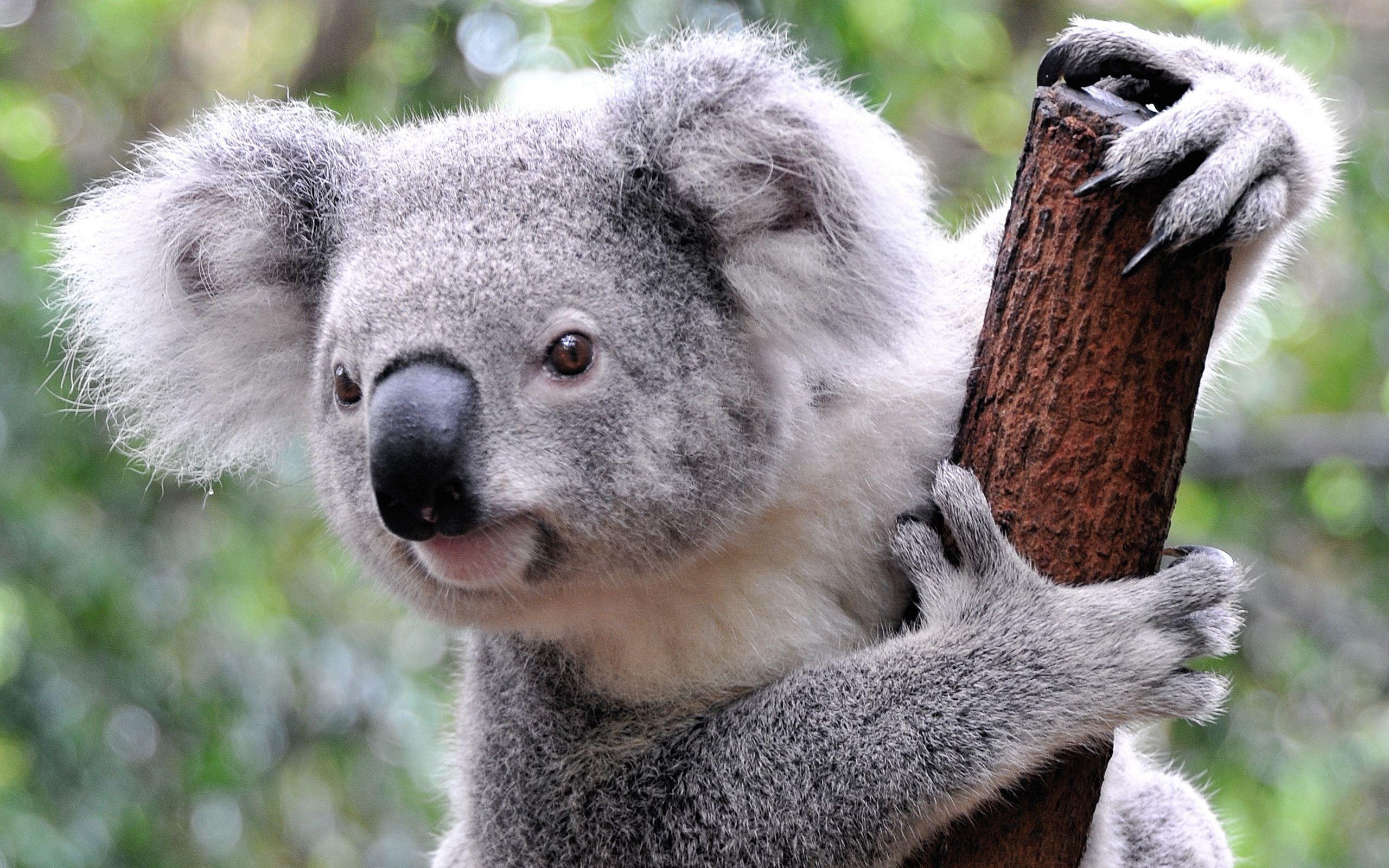 ¿Cuántas horas duerme un koala al día?