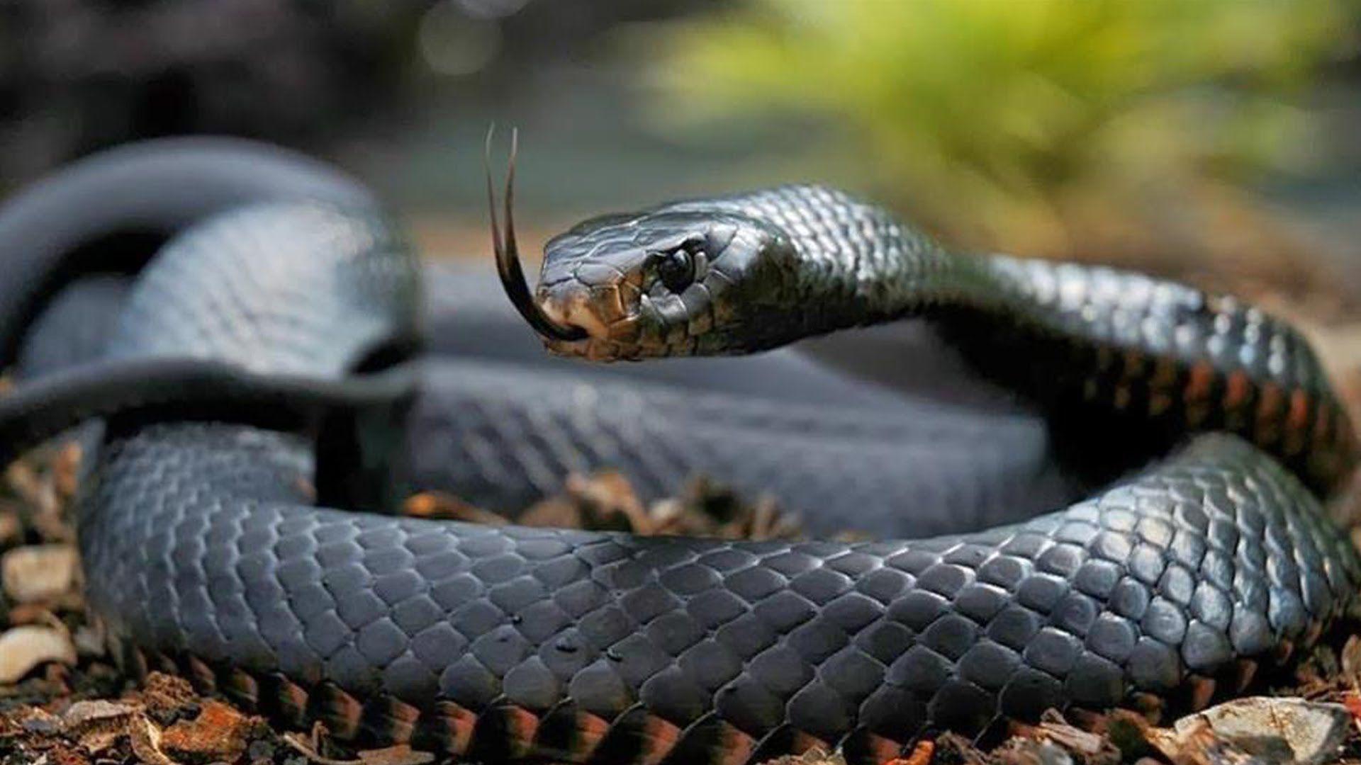 ¿Cuál es el porcentaje de mortalidad por la mordedura de la serpiente mamba negra?