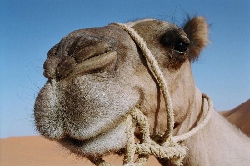 ¿Cuántos días aguanta un camello sin beber?