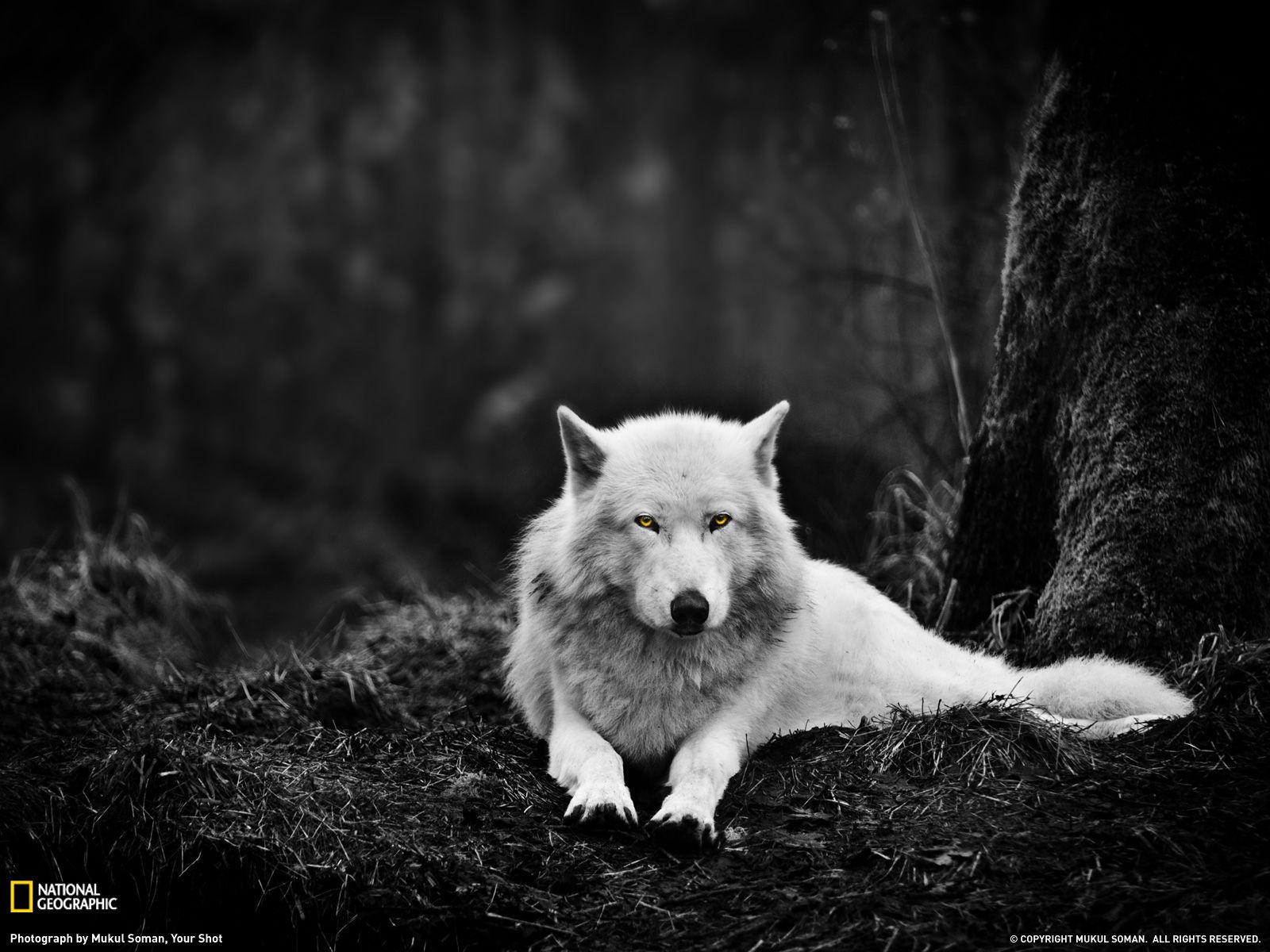 1909 - ¿Cuánto sabes de lobos?