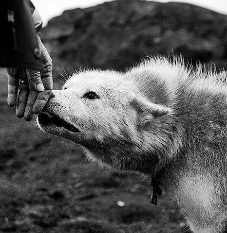¿Como se llama al lobo de más bajo rango en la manada?