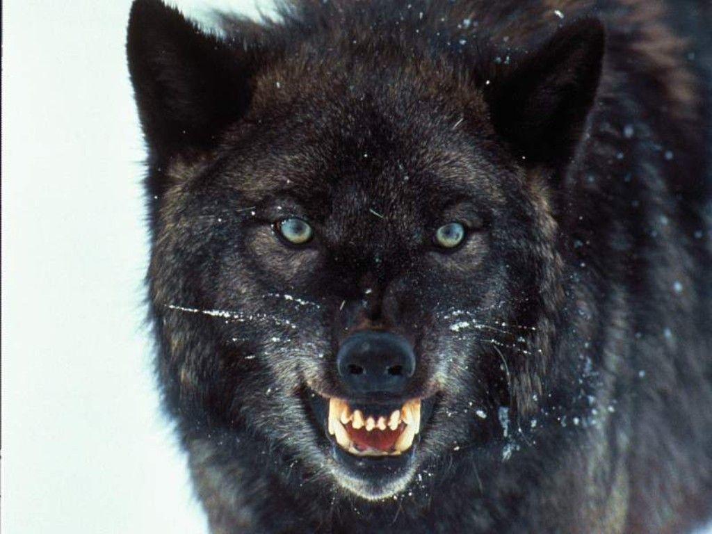 ¿Cuál de los siguientes lobos son los más competitivos en la manada?