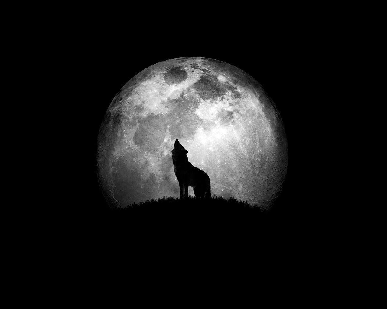 ¿Qué están haciendo los lobos cuando aúllan a la luna?
