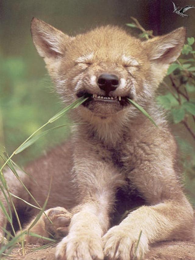 ¿Cuál es el tipo de lobo más antiguo vivo de la tierra?