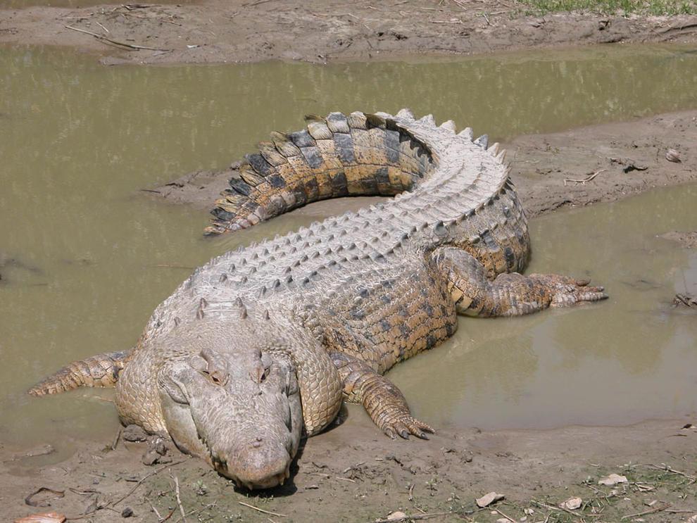 ¿En qué zona de Australia podemos encontrar al cocodrilo marino o de agua salada?