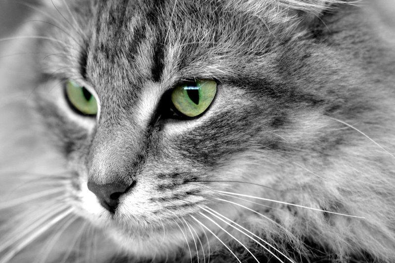 ¿Cómo se domesticó el gato?