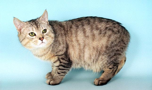 ¿Qué raza de gato no tiene cola?