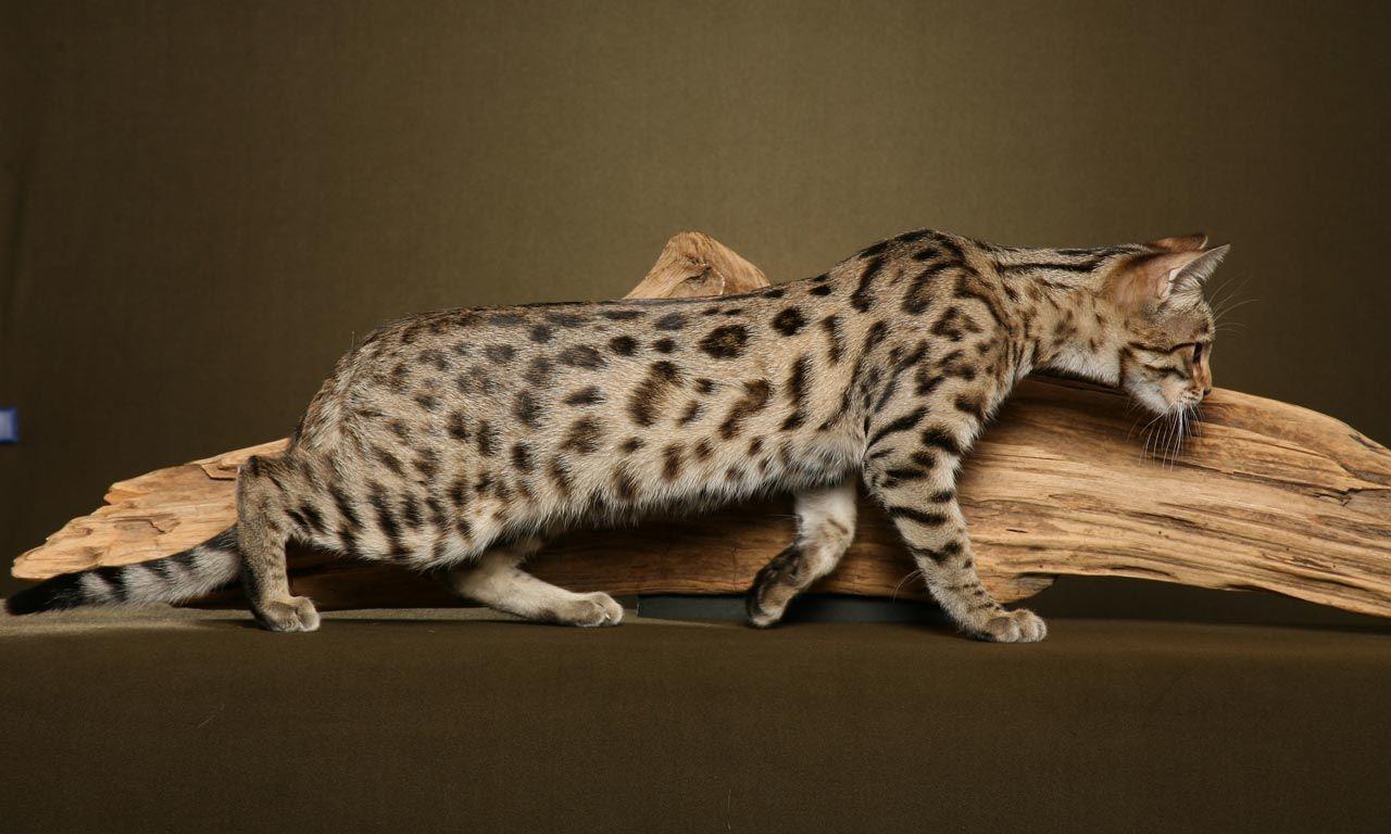 ¿Qué raza de gato parece un leopardo?