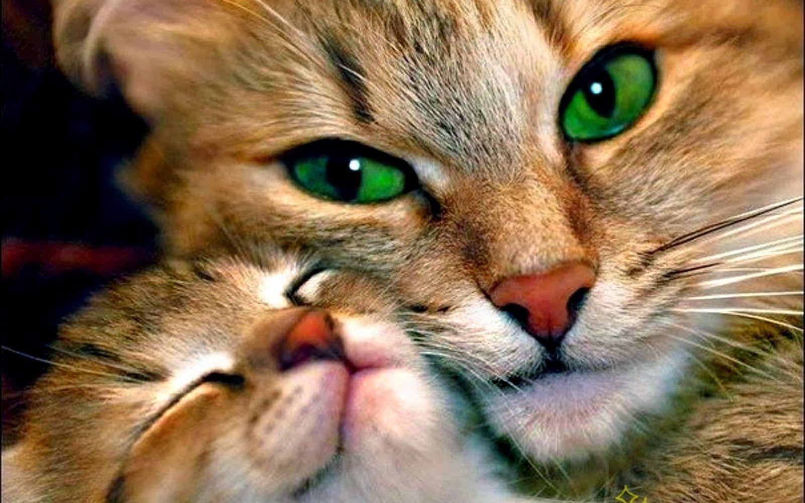 ¿Qué raza de gato es considerada las más grande?