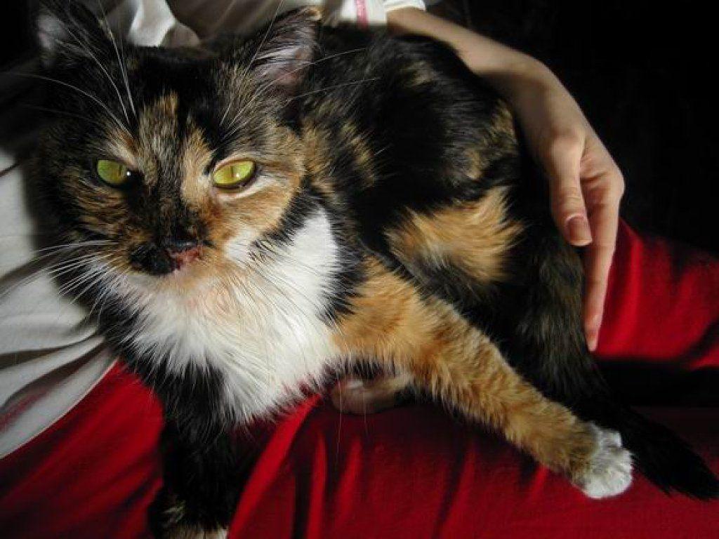 ¿Un gato tricolor de qué sexo es?