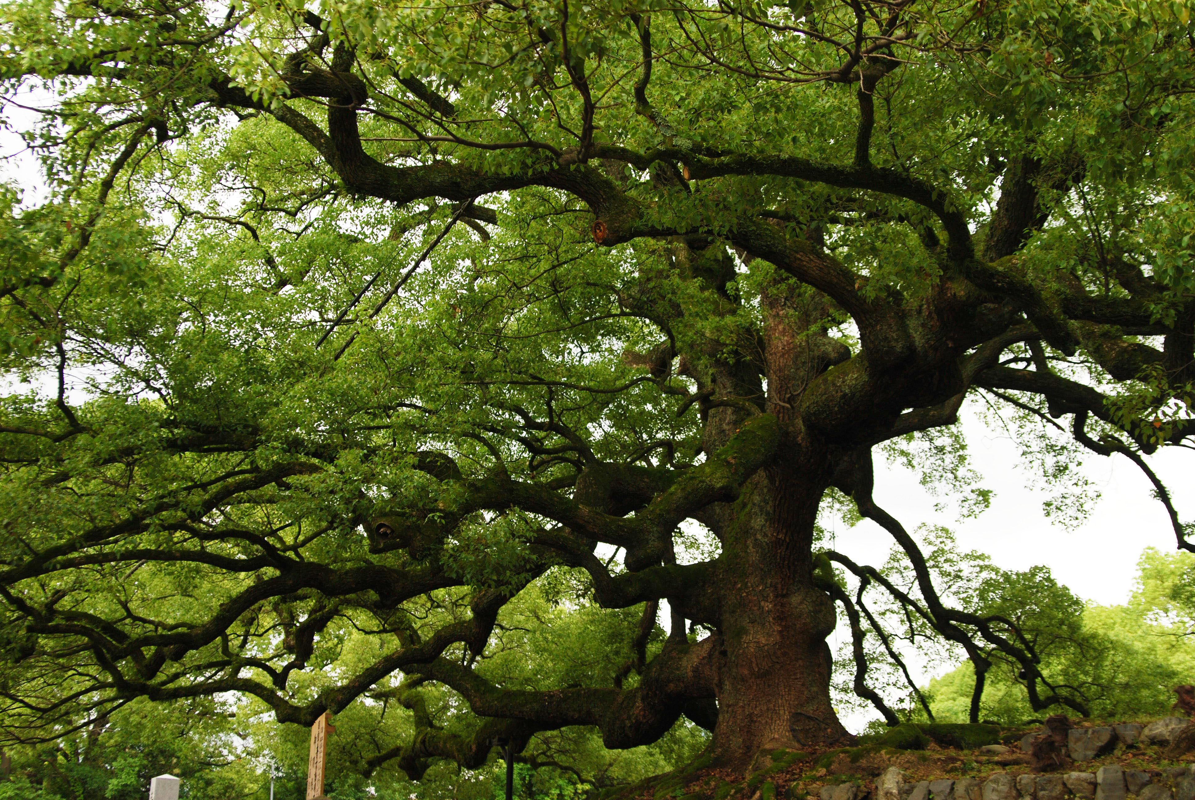 Viral zalo cu nto sabes de r cords de la naturaleza for Cuanto mide un arbol