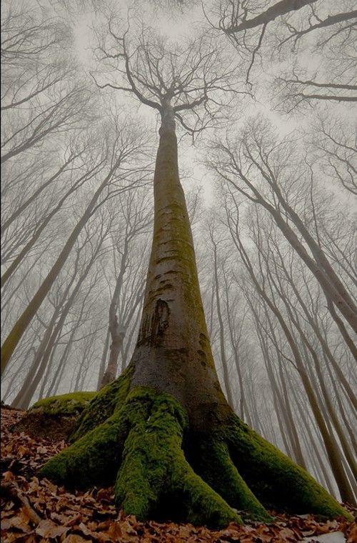 ¿Cuál es el árbol más alto que existe? (nombre propio del árbol en concreto, no de la especie)