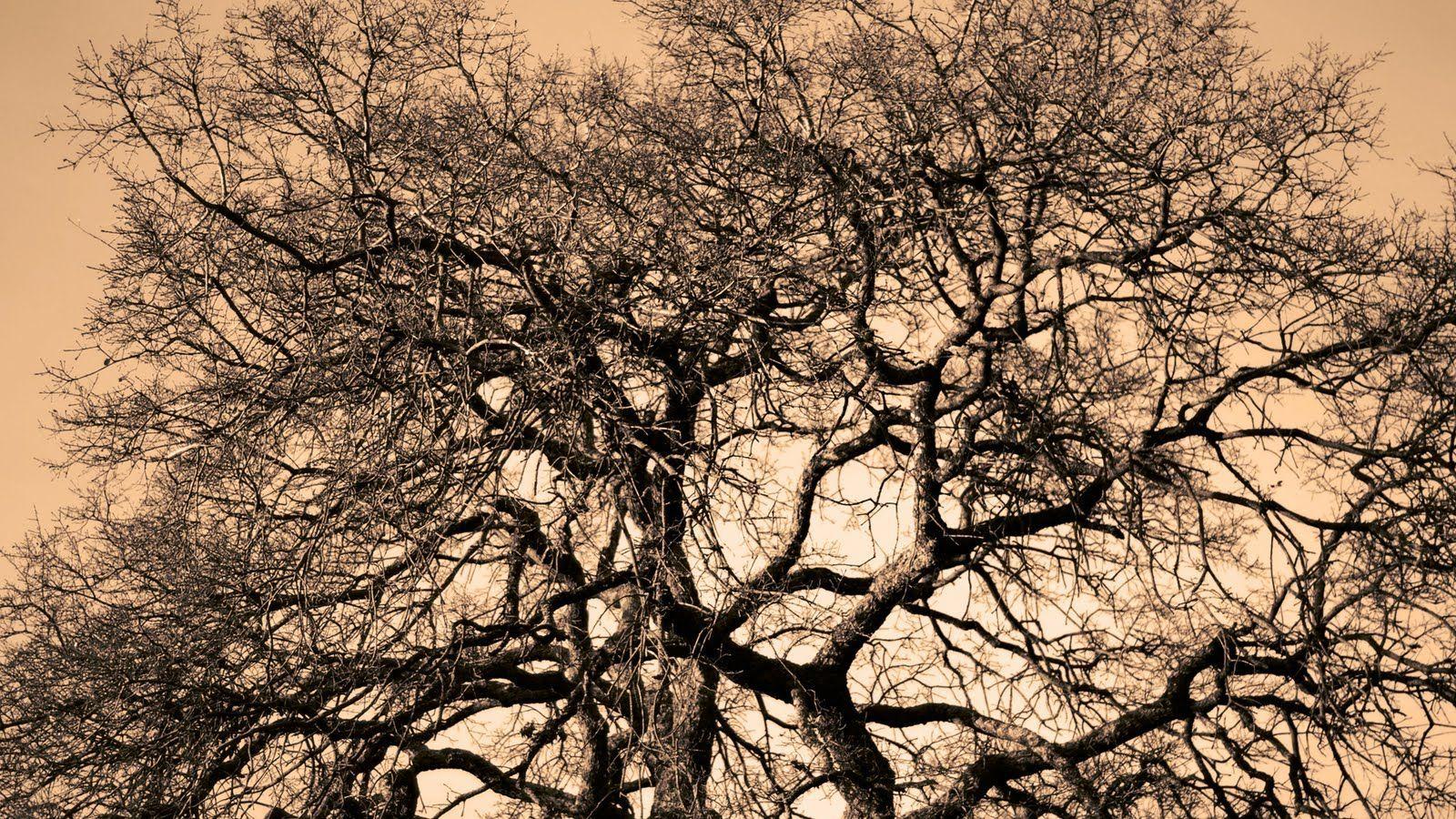 ¿Cuál es el árbol más viejo, todavía vivo, que existe?