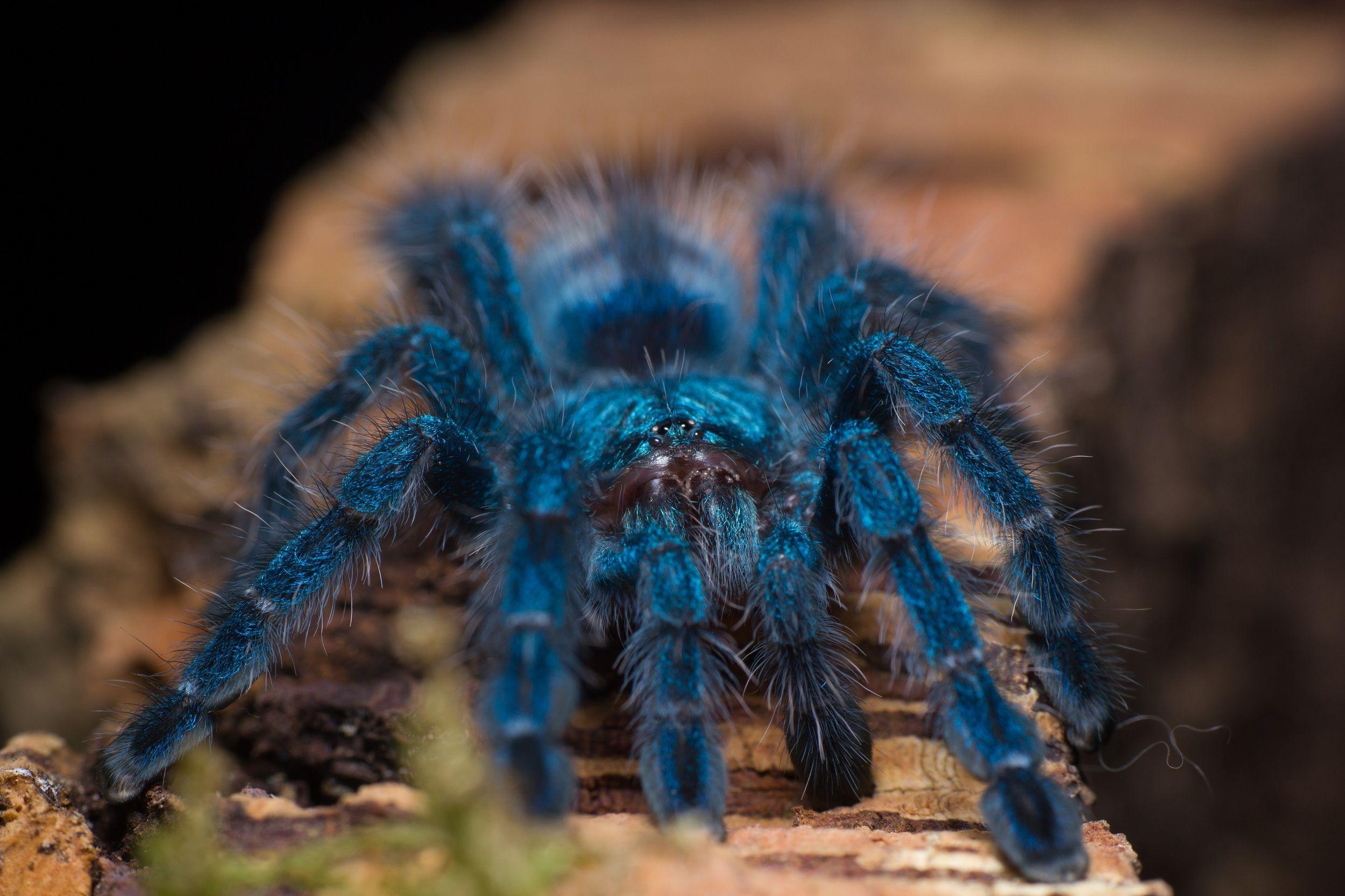 ¿Es una tarántula una araña?