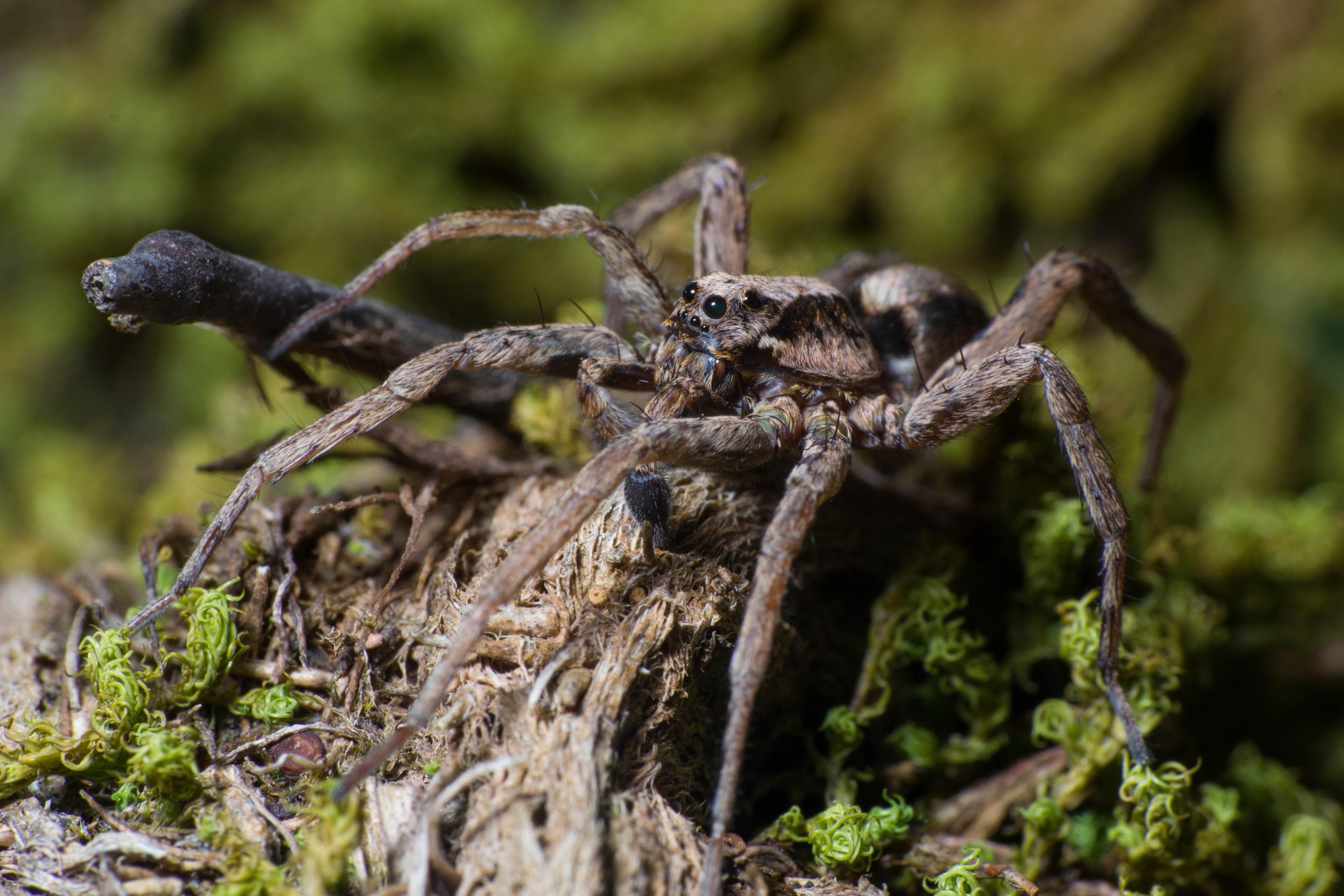 ¿Es verdad que de media, nos tragamos 8 arañas en nuestra vida mientras dormimos?