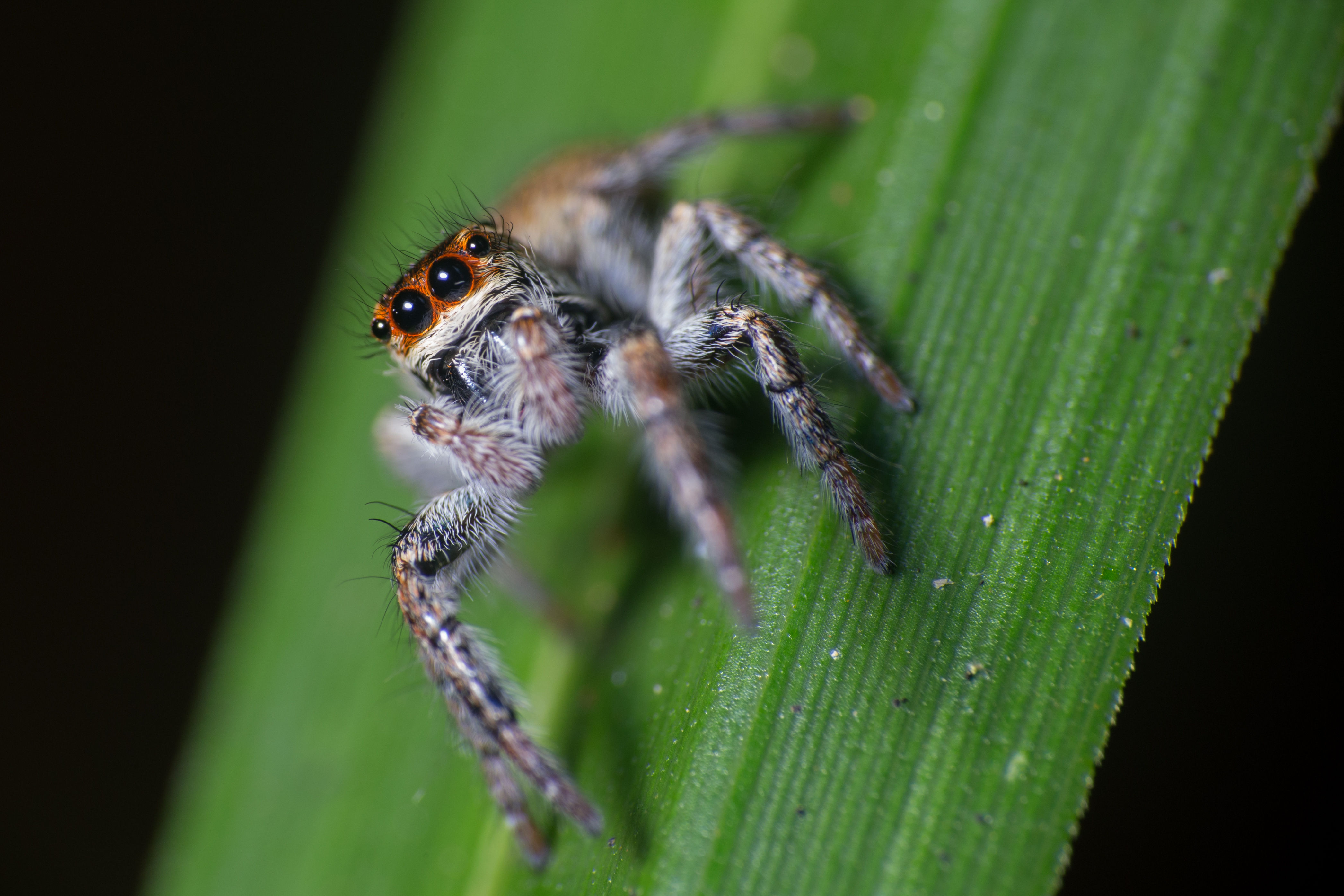 ¿Pueden las arañas saltar?