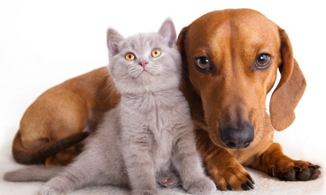 7238 - Tú lo que necesitas, ¿es un gato o un perro?