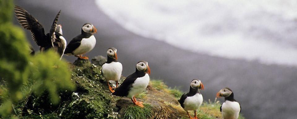 ¿Cuál de estos animales no forma parte de la fauna islandesa?