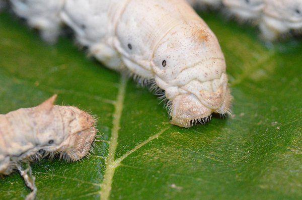 ¿De qué se alimentan los gusanos de seda?