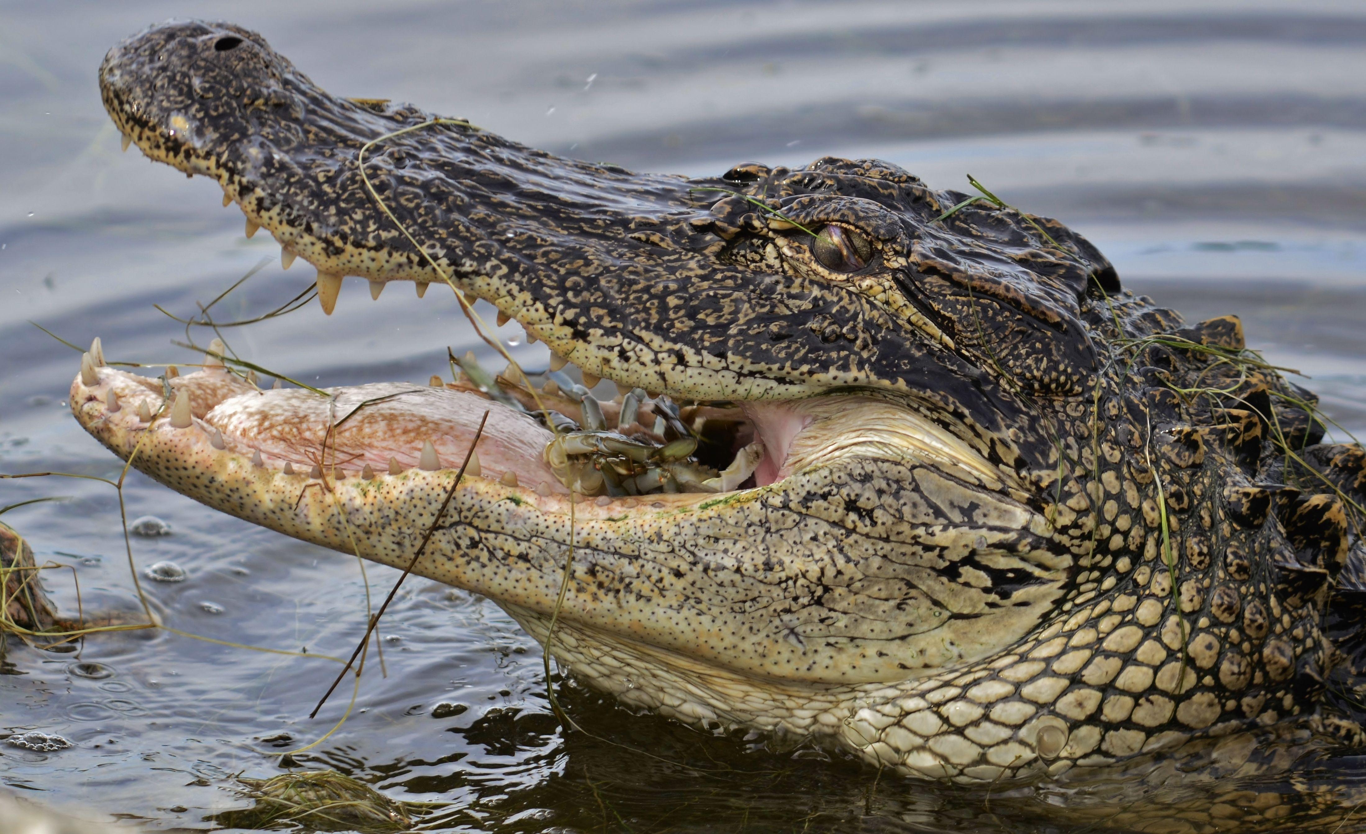 ¿En qué estado se encuentra la mayoría de la población de los Alligator americanos?