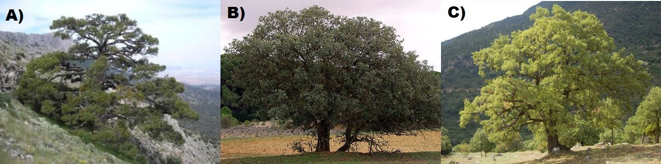 ¿Cómo se llaman estos árboles típicos de Andalucía?