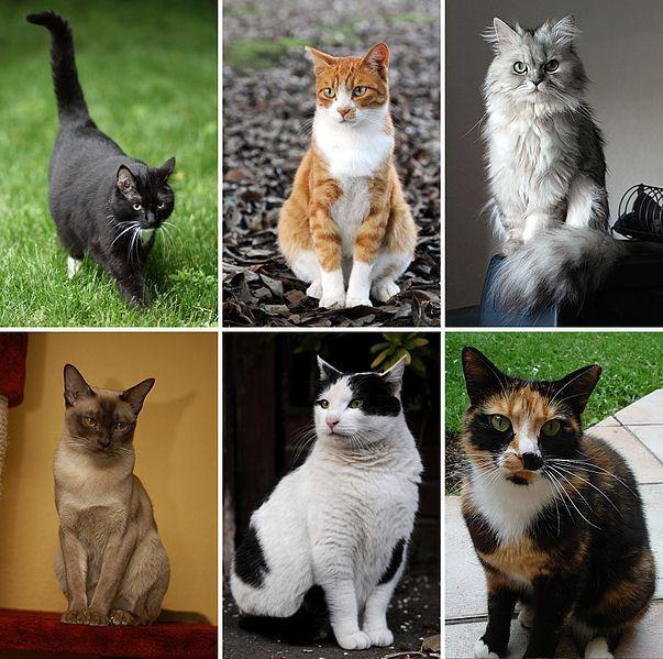 8439 - ¿Puedes identificar las siguientes razas de gatos?