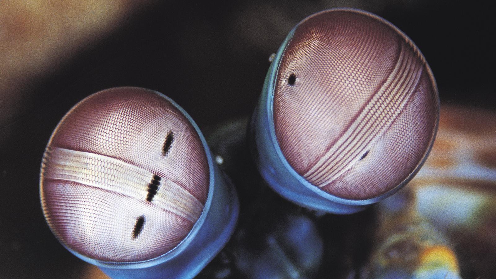 Estos son los ojos compuestos de un animal, pero ¿cuál?