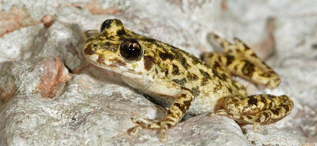 ¿Cuál de estas ranas es endémica de Mallorca?