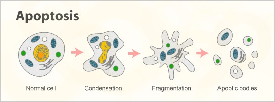 Un gen que participe en la activación de la apoptosis es un...