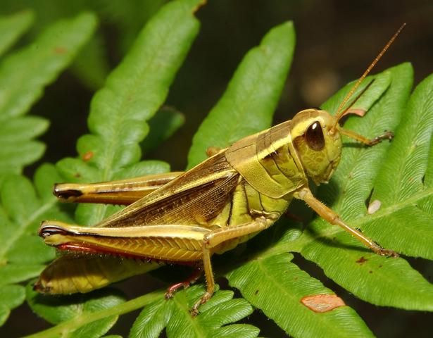 Un saltamontes es un insecto...