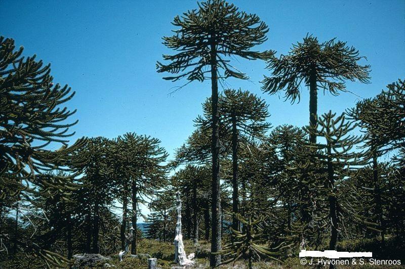 Y por último, ¿cuál de los siguientes arboles solo se encuentra en Chile?