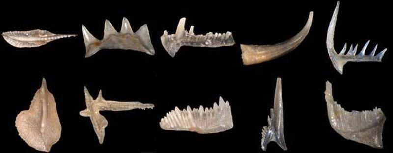 Los conodontos son unas piezas microscópicas de afinidades muy discutidas. Hoy en día se supone que pertenecieron a...