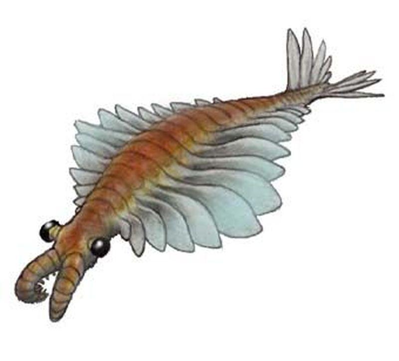 Anomalocaris es un voraz depredador de la fauna de Burgess Shale (Cámbrico), aunque inicialmente se pensó que era...