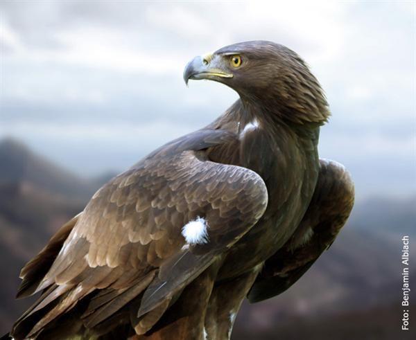Águila real empieza a seguirte.