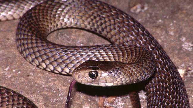 Vas caminando por la ruta y una serpiente marrón salvaje aparece.