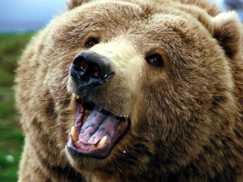 Un oso pardo. Que aún no te ve...