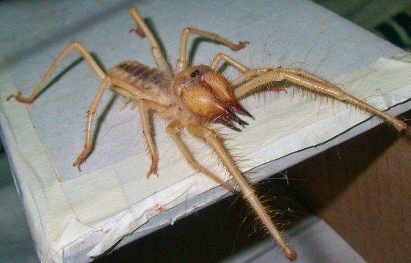 De nada por las pesadillas, araña camello de 16 cm.