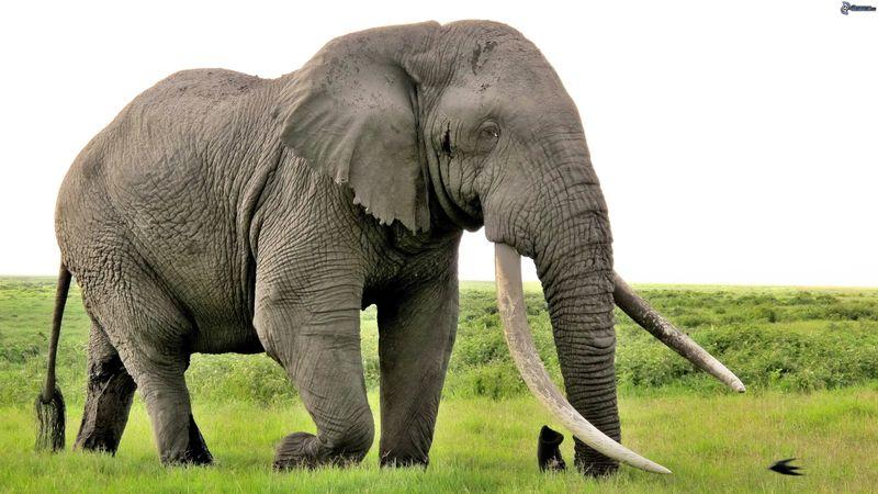 Un elefante macho, ya te ha visto y está inmóvil mirántote fijamente...
