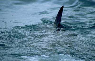En medio del mar, ves unas aletas cerca de ti ¿Qué haces?