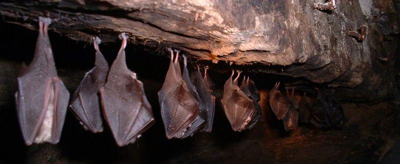 Los murciélagos suelen vivir entre cinco y veinticinco años, ¿pero hasta cuánto pueden vivir algunas especies?