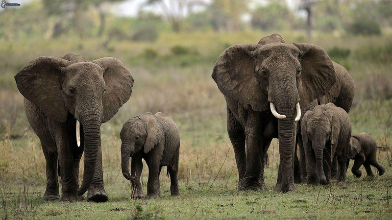 ¿Cuál de estas creencias acerca de los elefantes es sólo un mito?