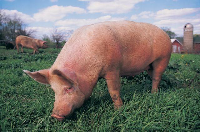 El cerdo recibe muchos nombres populares en España y en otros países. ¿De qué país proviene llamarlo