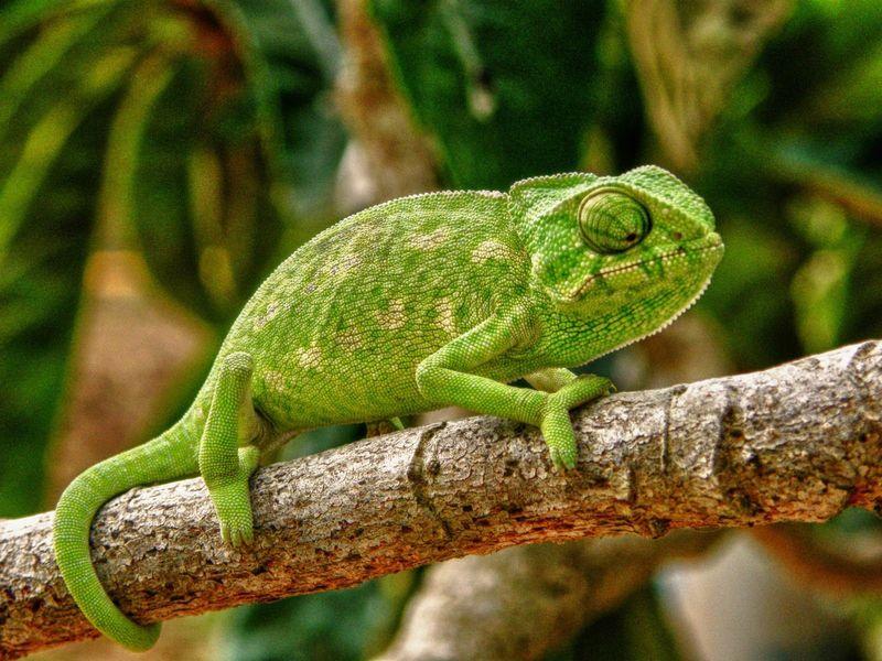 ¿Alrededor de cuántas especies existen de camaleón?