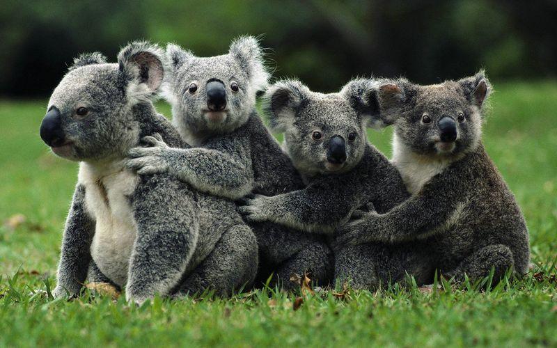 ¿Cuál de estos animales, no es un depredador natural del koala?