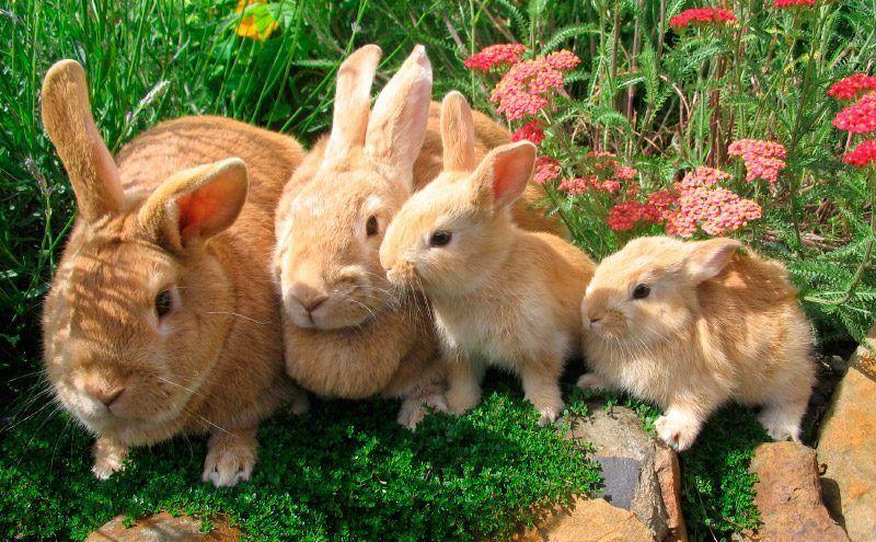 ¿Cuál de estos datos sobre el conejo, es falso?