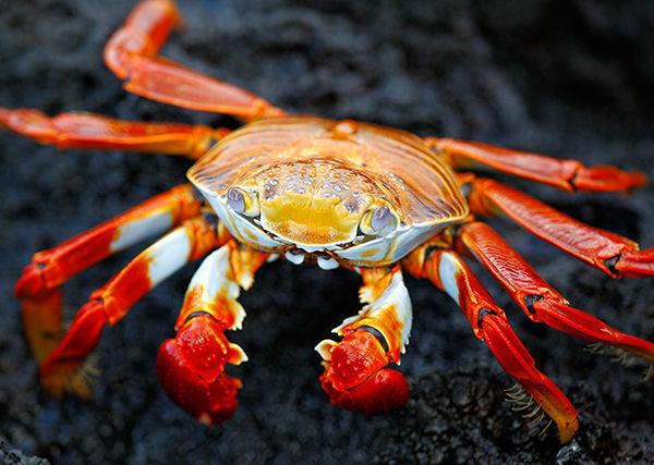 ¿De las siguientes especies de cangrejo, cuál no existe?