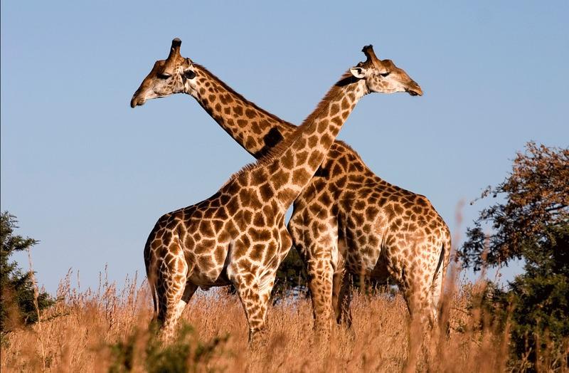 En la antigüedad, los romanos creían que la jirafa procedía del cruce de dos animales, ¿cuáles?