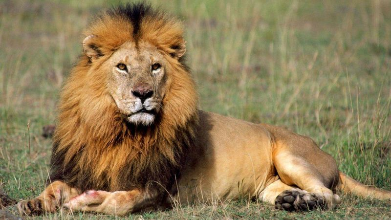 El rey, un gran león macho solitario
