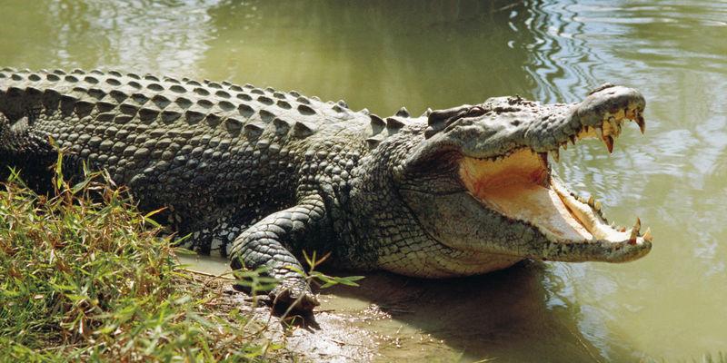 Este cocodrilo hizo un movimiento fuerte al verte, y ahora te mira de esta manera